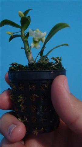Dend oligophyllum 010 (Small).jpg