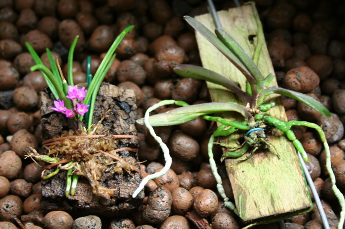 ai68.photobucket.com_albums_i3_gato_pillo_orchids_forum_pumiliumpusilla.jpg