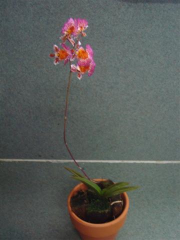 Little Tolumnias 001 (Small).jpg