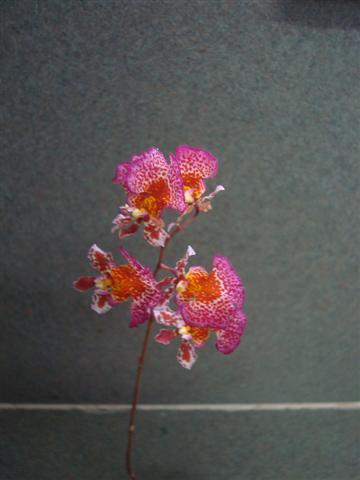 Little Tolumnias 002 (Small).jpg