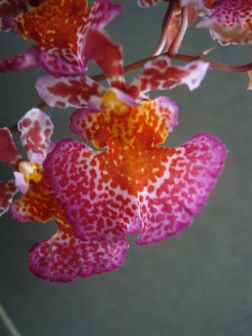 Little Tolumnias 004 (Small).jpg