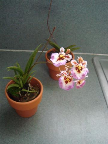 Little Tolumnias 006 (Small).jpg
