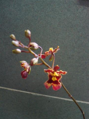 Little Tolumnias 010 (Small).jpg