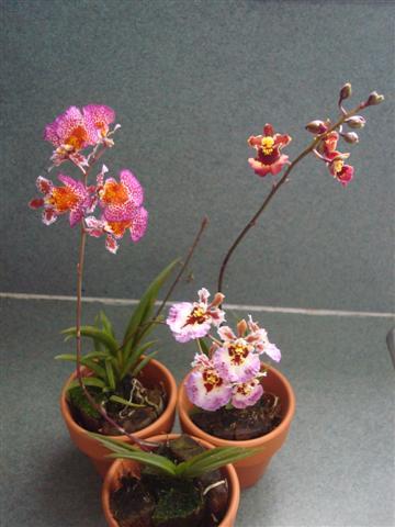 Little Tolumnias 012 (Small).jpg