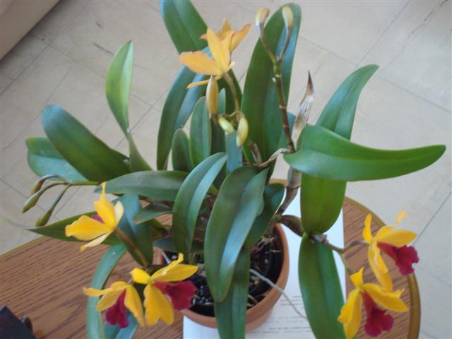 Lc. Gold Digger 'Orchidglade' 002 (Small).jpg