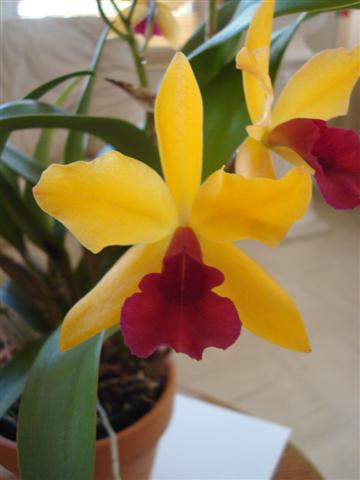 Lc. Gold Digger 'Orchidglade' 005 (Small).jpg