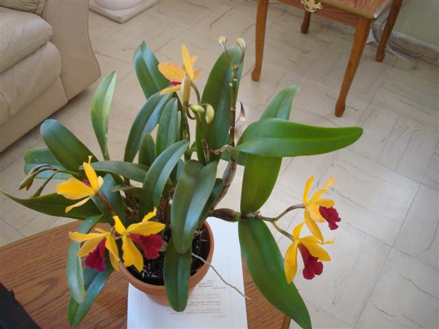 Lc. Gold Digger 'Orchidglade' 006 (Small).jpg