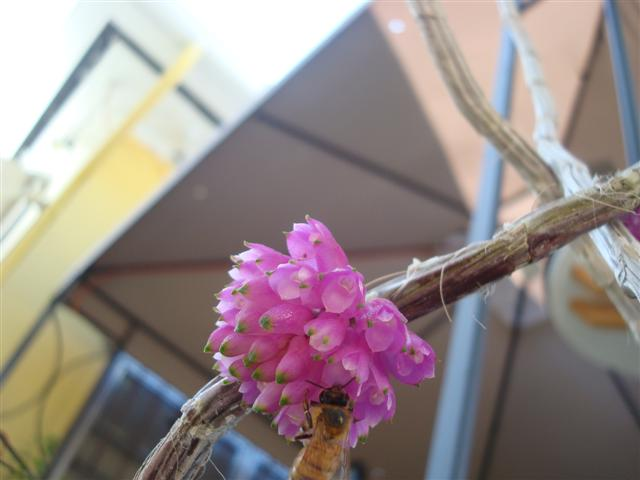 Den. purpureum and Ionopsis utraculariodes 004 (Small).jpg