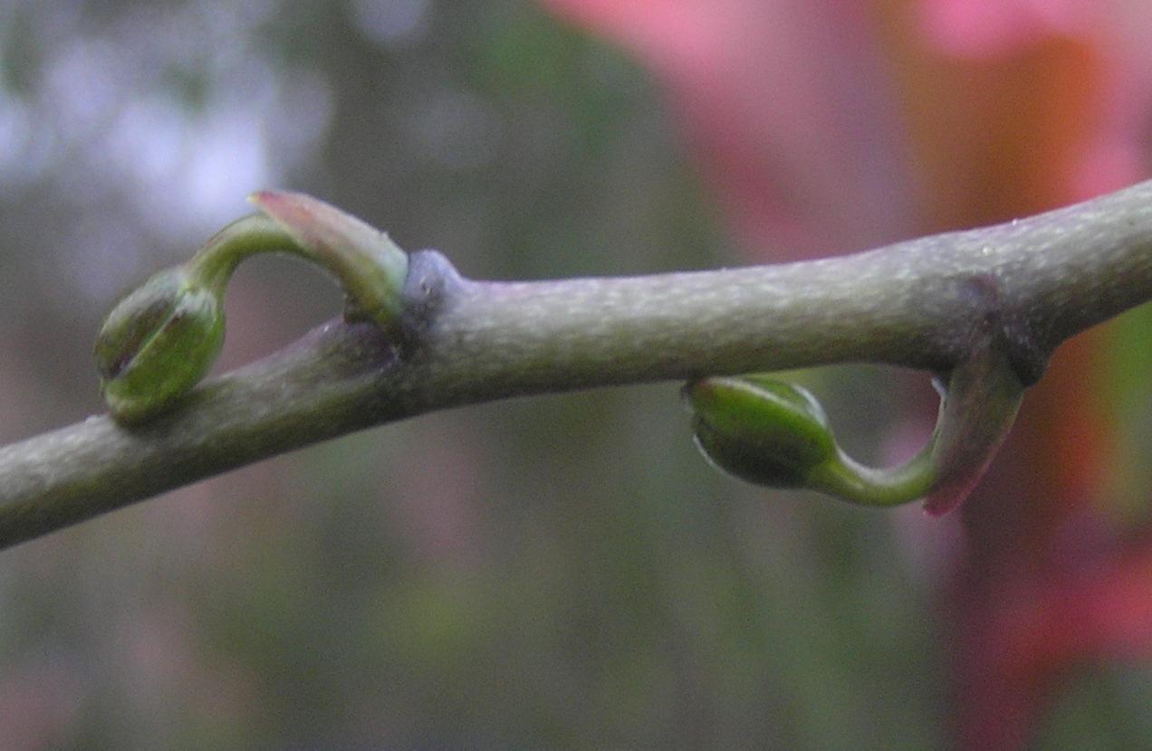 Phal_stuartiana_stem_crop.jpg