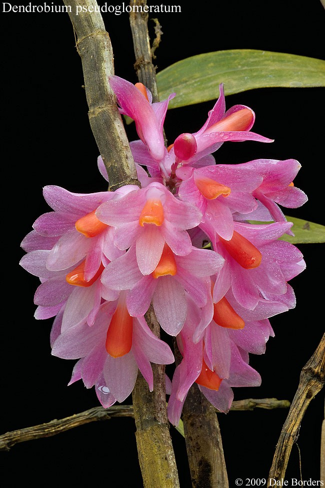 denpseudoglomflowers.jpg