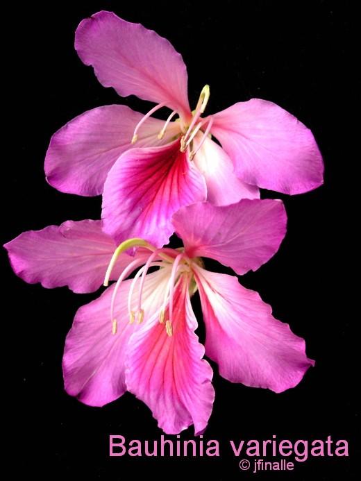 t24 Bauhinia variegata.jpg