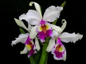 C. warscewiczii var. semi alba 'Katia'.jpg