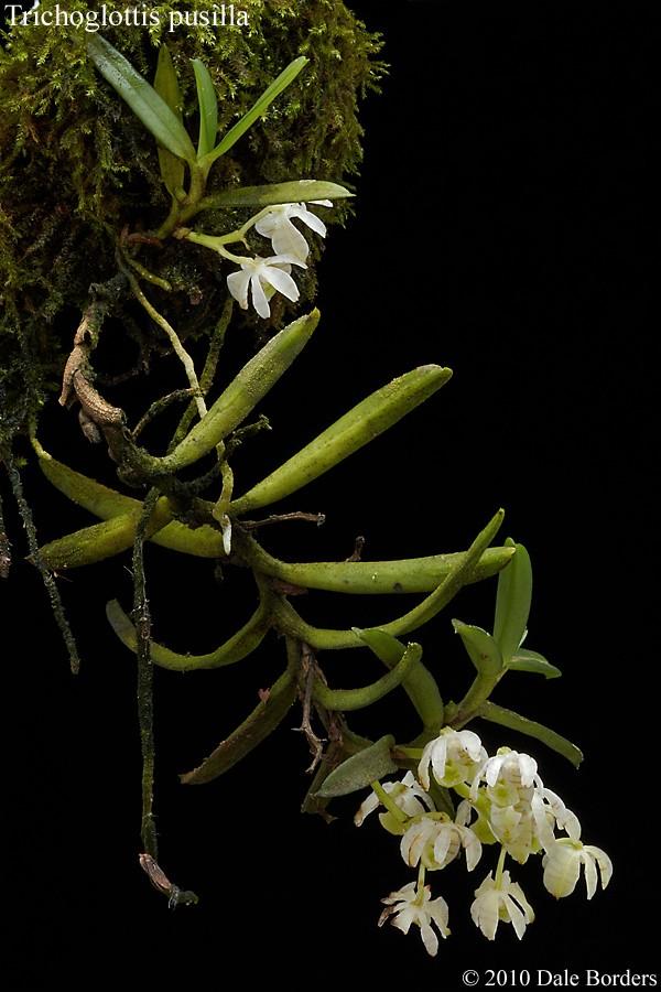 trichopusillaplantstack.jpg