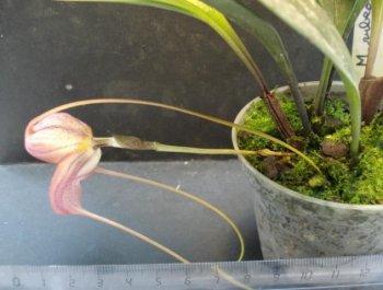 awww.orchidees.fr_forums_gallery_1265822783_med_gallery_1004_220_72816.jpg