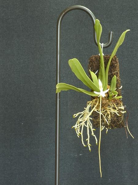 Jumellea densifoliata plant.jpg