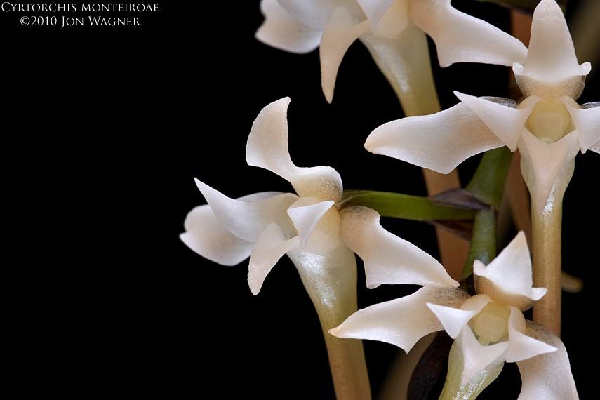 cyrtorchisMonteiroae061010b.jpg