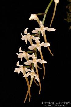cyrtorchisMonteiroae061010c.jpg