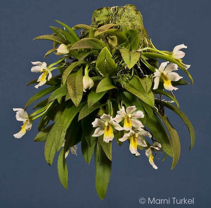 tricho.pulchrum.stpt.mt.plant.jpg