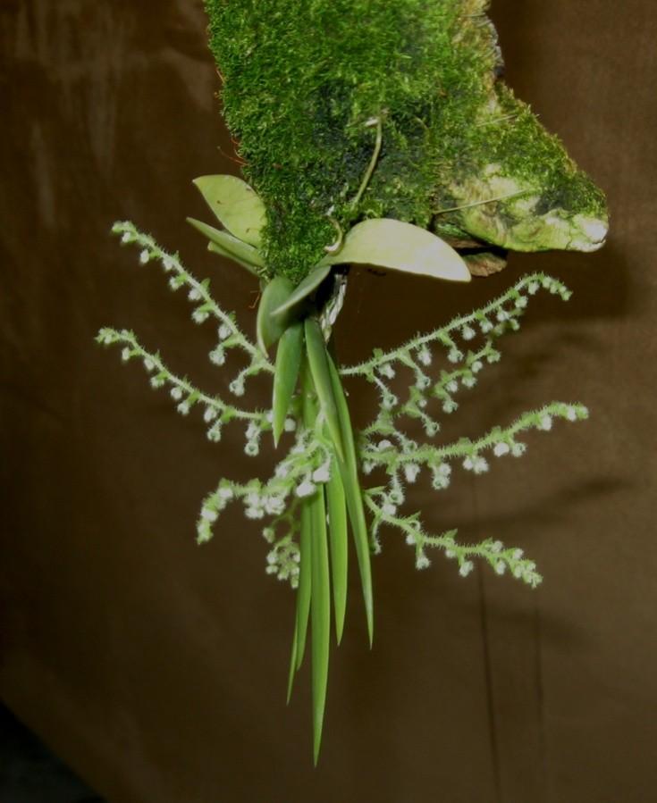 Ornithocephalus myrticola side-900.jpg