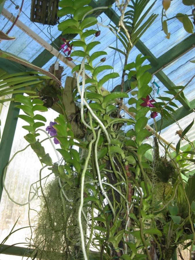 Trichoglottis brachiata plant-900.jpg