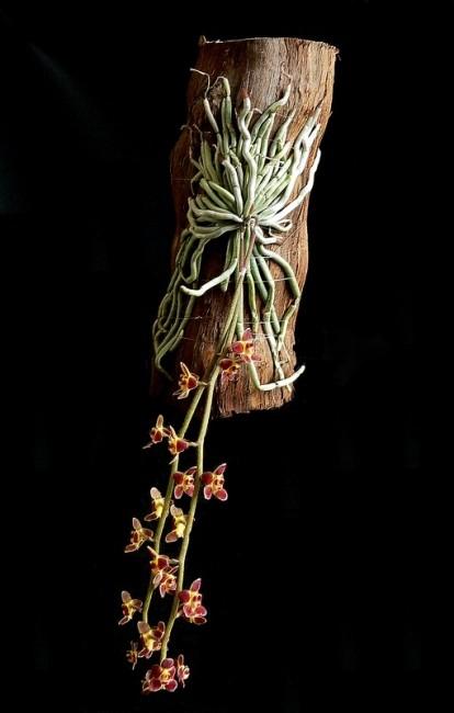 aforum.theorchidsource.com_gallery_60_medium_15862.jpg