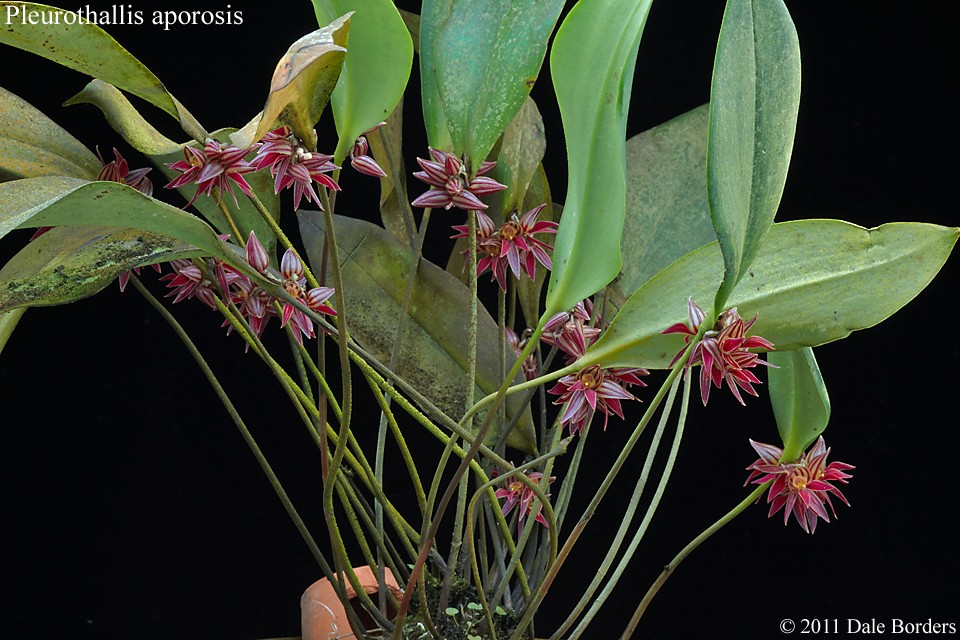 pleuraporosisplant.jpg