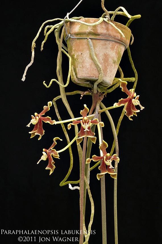 paraphalaenopsisLabukensis032111a.jpg
