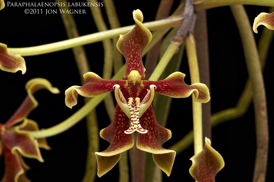 paraphalaenopsisLabukensis032111b.jpg