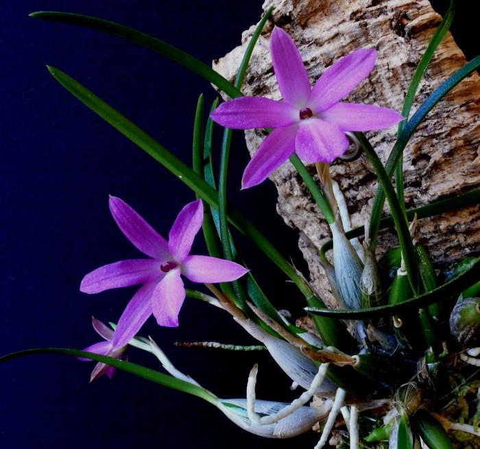 S. violacea10.jpg