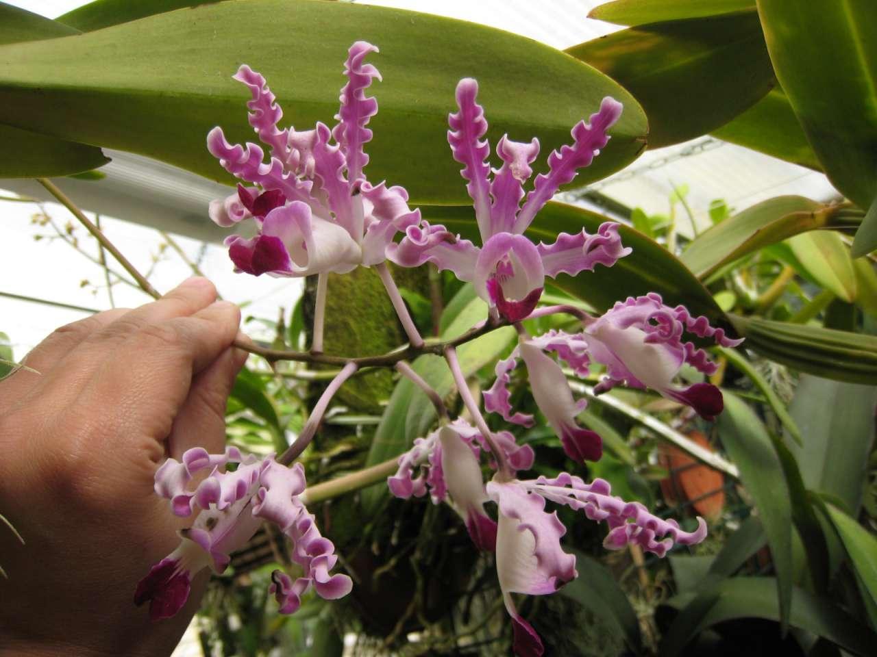 awww.orchidees.fr_forums_gallery_1307478789_gallery_6011_1154_31851.jpg
