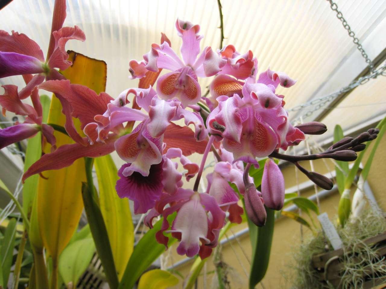 awww.orchidees.fr_forums_gallery_1307478789_gallery_6011_1154_8929.jpg