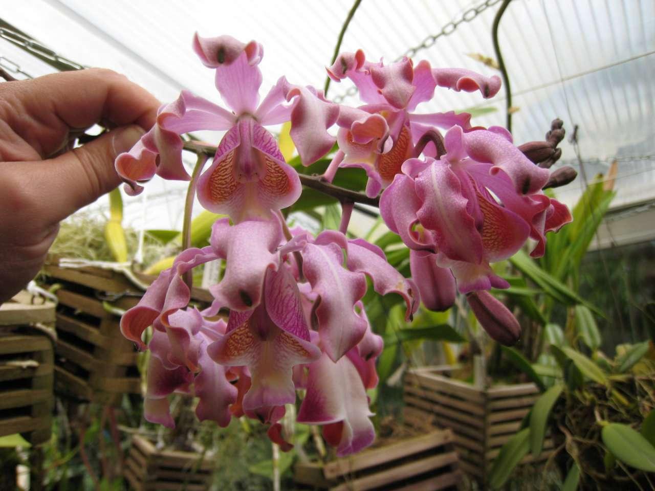 awww.orchidees.fr_forums_gallery_1307478789_gallery_6011_1154_295441.jpg