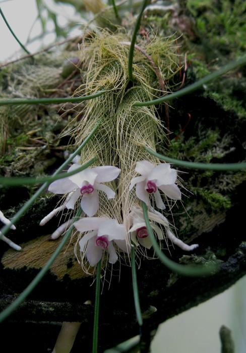 Isabelia virginalis-700.jpg
