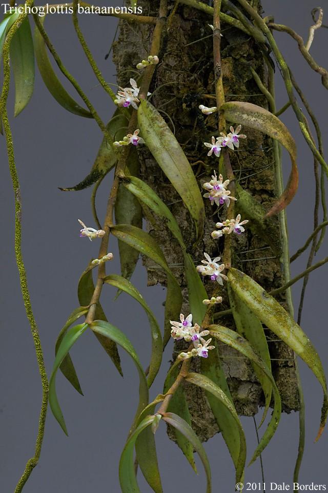 trichbataanplant.jpg