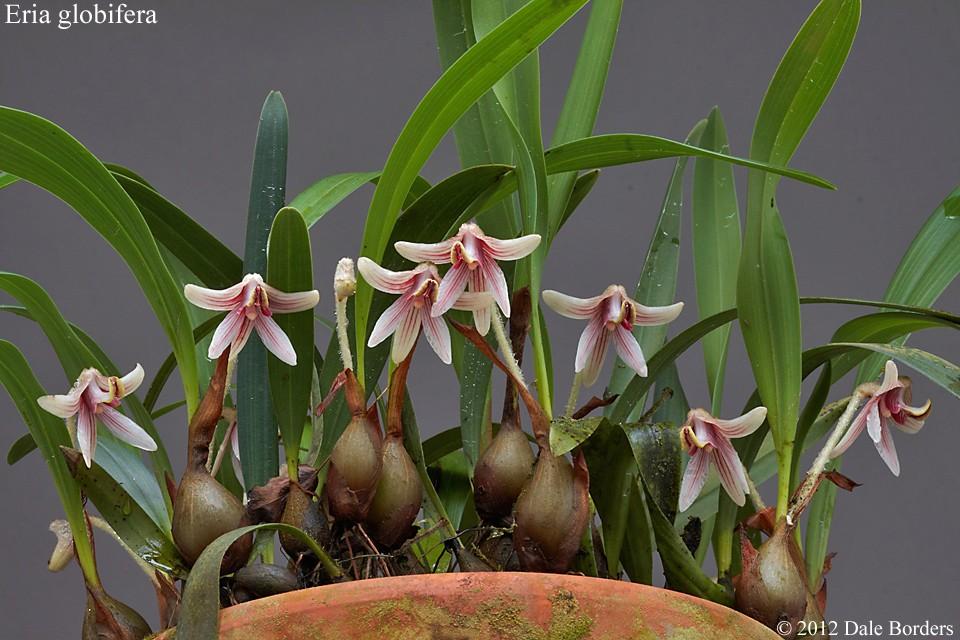 eriaglobiferaplant2012.jpg