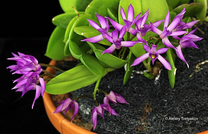 what is the blooming orchid position