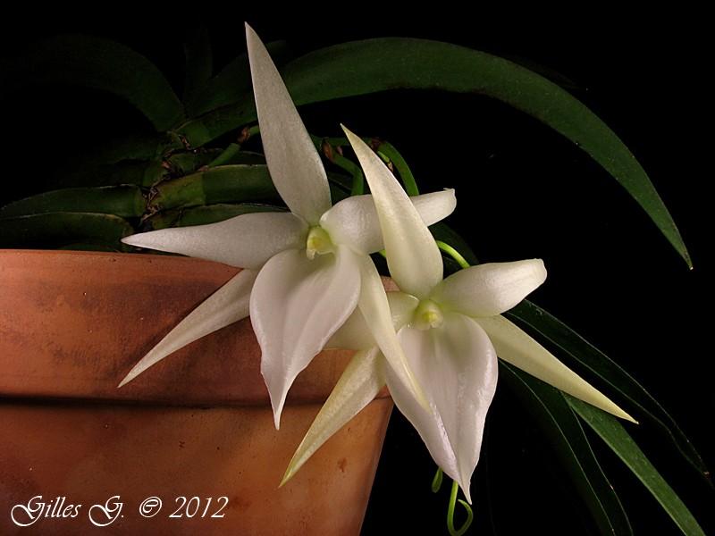 adl.dropbox.com_u_80512103_orchid_C3_A9es_Angraecum_20leonis_20x_20sesquipedale.jpg