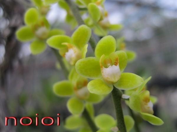 IMG_5213chislochista-yellow2.jpg