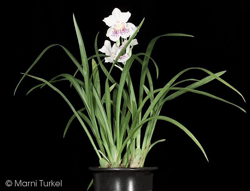 mil.phal.jl4n.plant.jpg