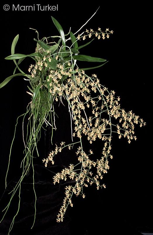 onc.longic.4379.plant.jpg