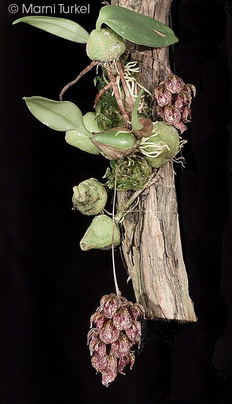 bulbo.biset.2774.plant.jpg