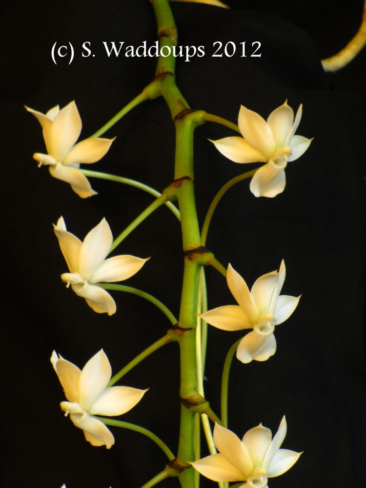 Aerangis ellisii x thomsonii flower copyright.jpg