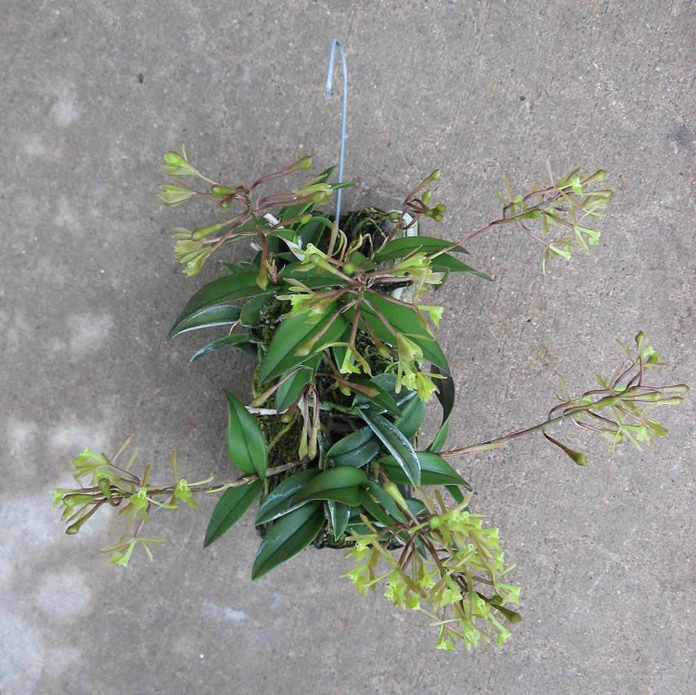 Epidendrum conopseum plant-1000.jpg