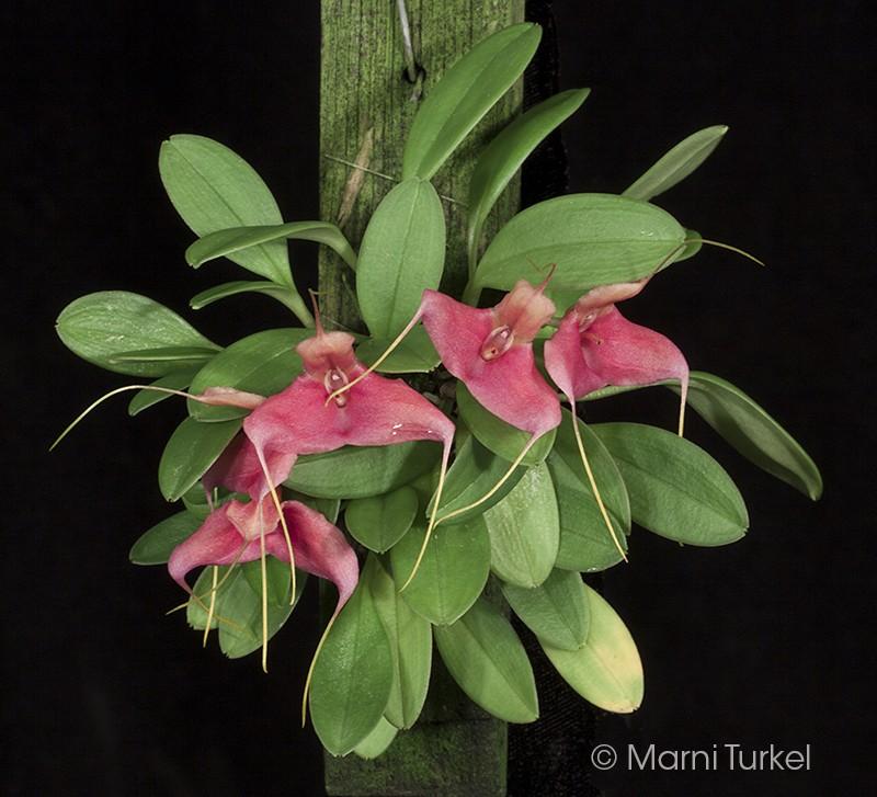 m.venator.red.plant.jpg
