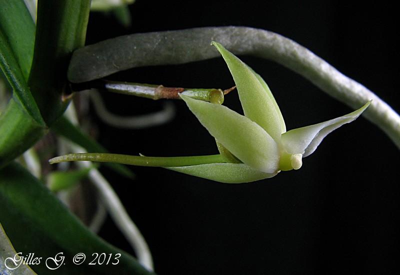 adl.dropbox.com_u_80512103_orchid_C3_A9es_hiver_202012_2013_Angraecum_20erectum_204.jpg