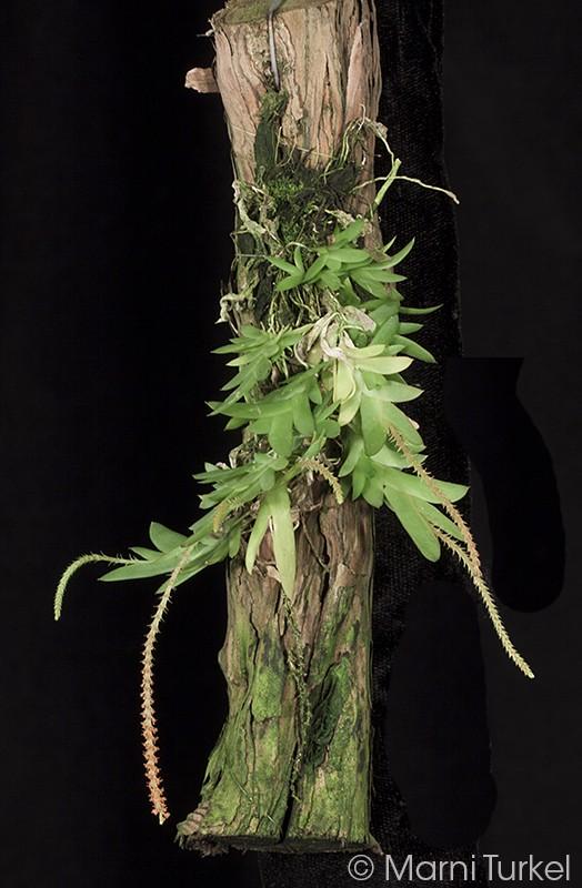 oberon.variabilis.plant.jpg
