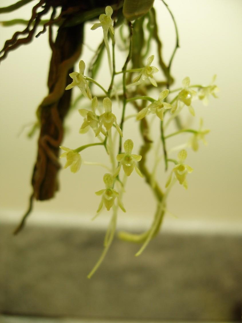 Mystacidium pusillum .001 01-20-13 01 sm.jpg