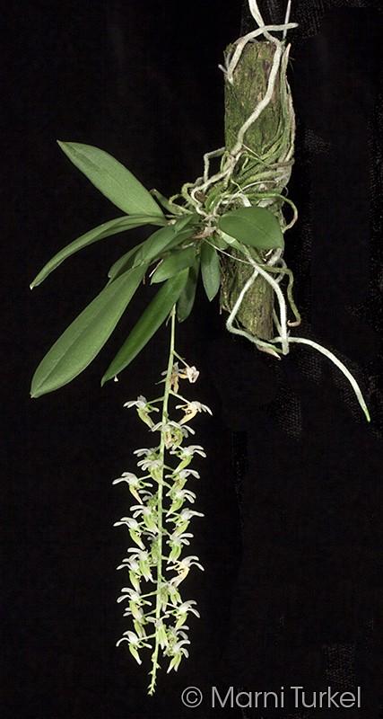 zygos.pellucida.plant.jpg