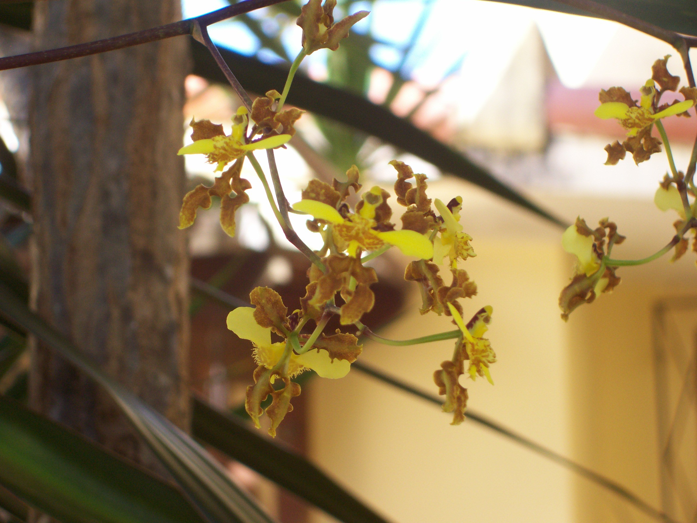 Oncidium Barbatum.jpg
