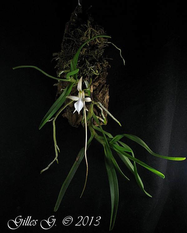 adl.dropboxusercontent.com_u_80512103_orchid_C3_A9es_automne_202013_Jumellea_20sp.jpg